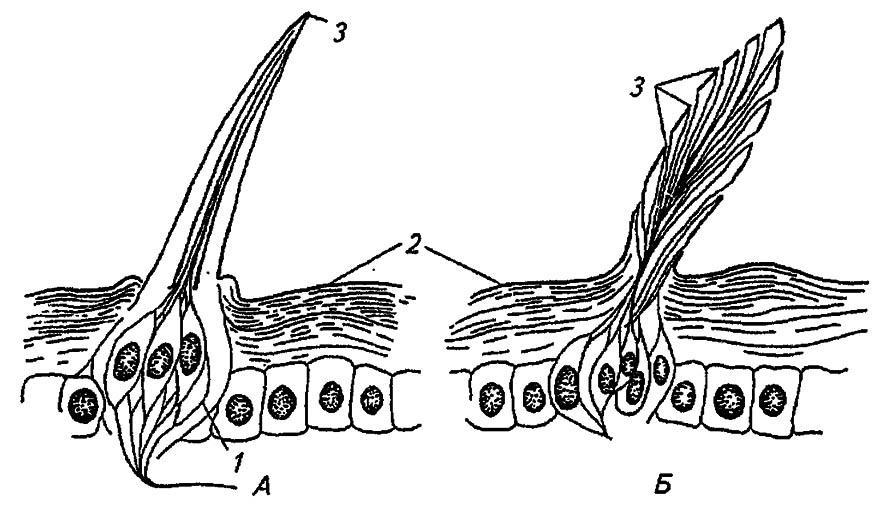Толстостенная (А) и тонкостенная (Б) сенсилла насекомых