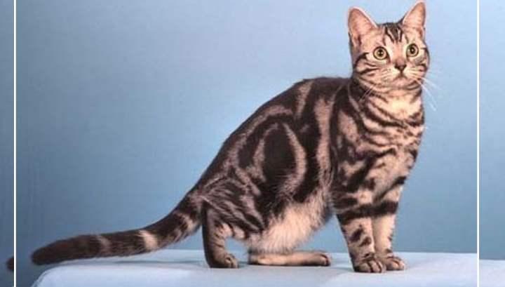 Американцы получились в ходе случайного скрещивания домашних кошек
