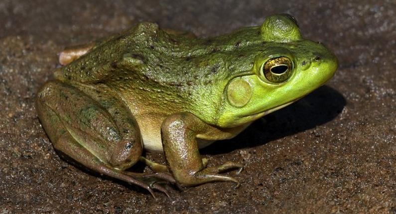 Зеленая лягушка на песке