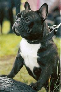 собака французский бульдог