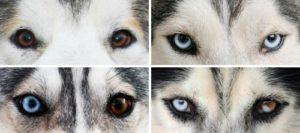 цветовые вариации глаз хаски