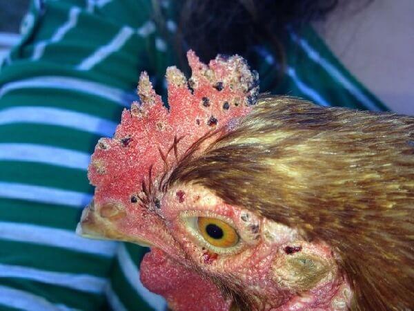 Последствия атаки курицы клещом