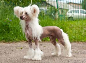 китайская хохлатая породистая собака