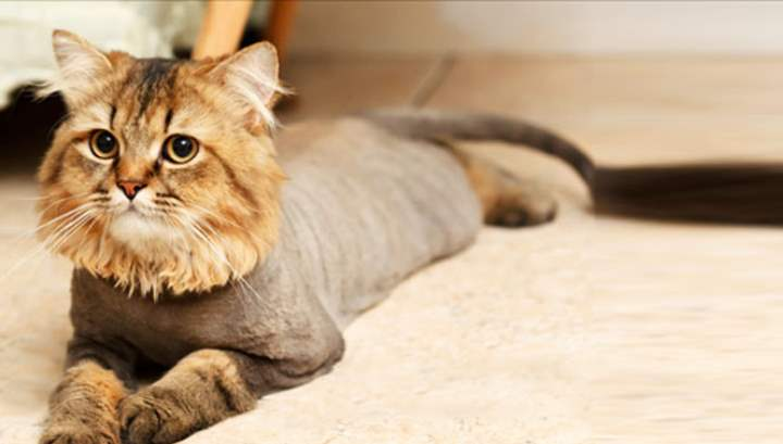 Короткая стрижка для кота