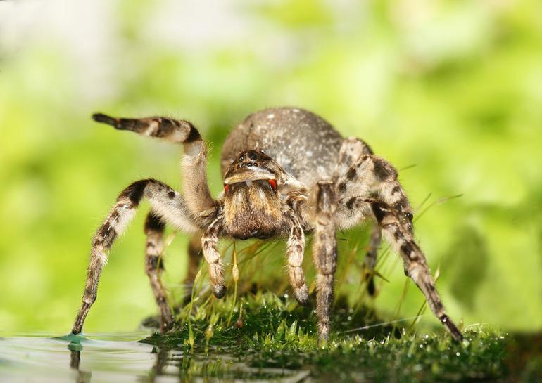 Где живет паук тарантул