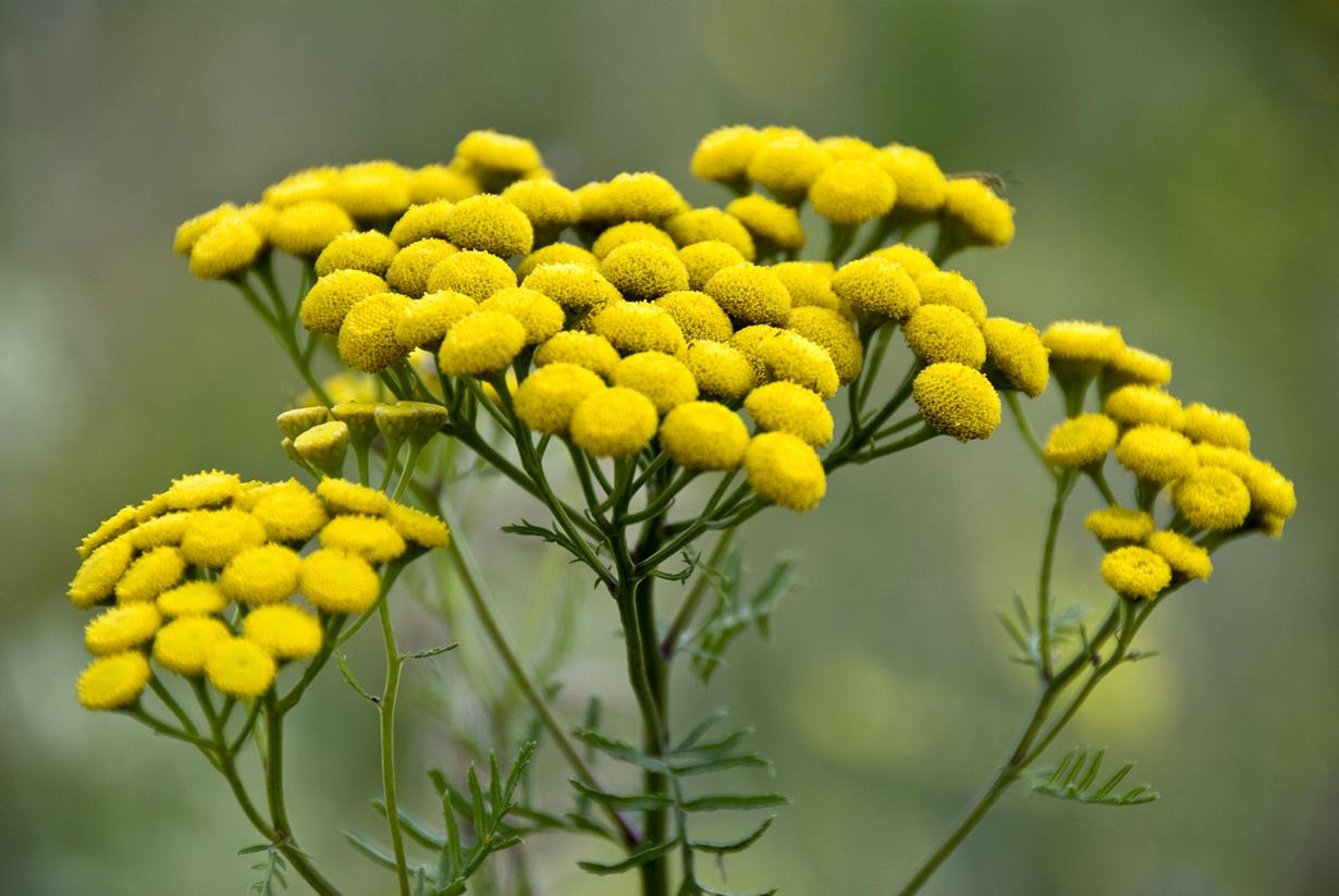 На фото растение Пижма