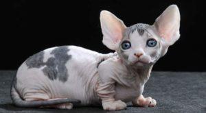 Лысый кот коротконогой породы