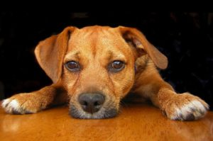 патологический кашель у собаки