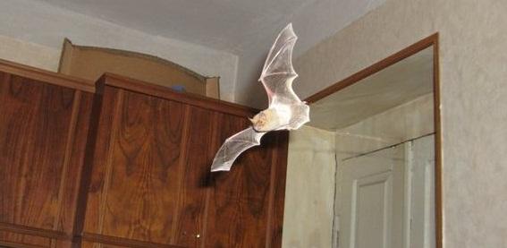 Мышь залетевшая в квартиру