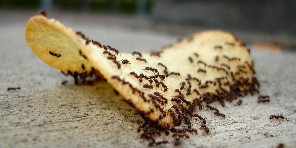 Колония муравьев в квартире