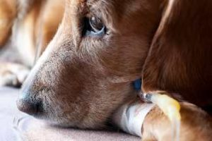 лечение пироплазмоза на дому