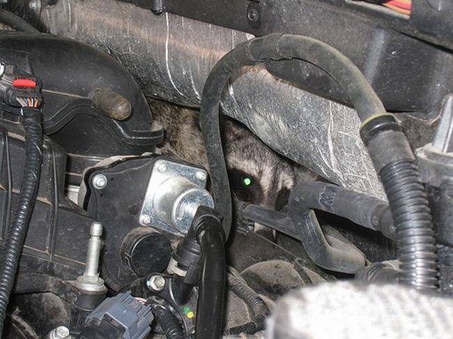 В машине поселилась мышь