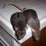Две мыши на кухонном столе