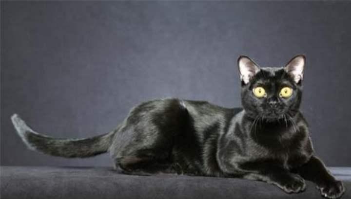Результатом скрещивания в Новой Зеландии бурманской кошки и обычной домашней кошки