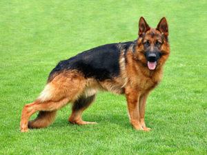 немецкая овчарка собака