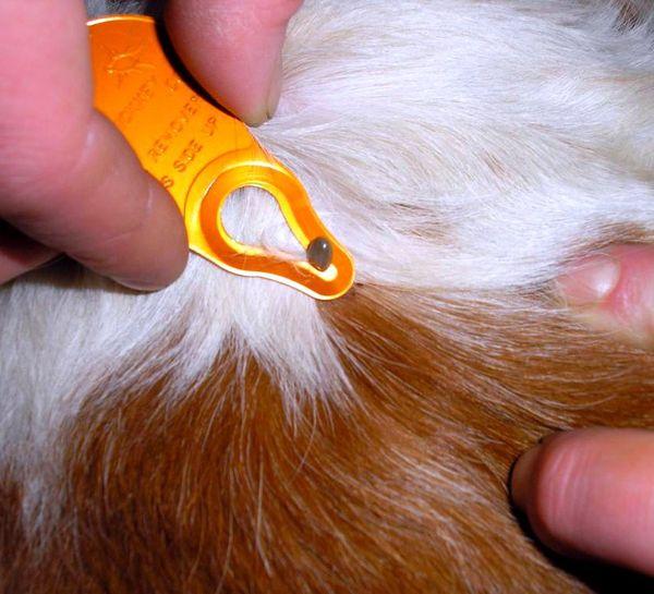 Извлечение клеща из кожи собаки