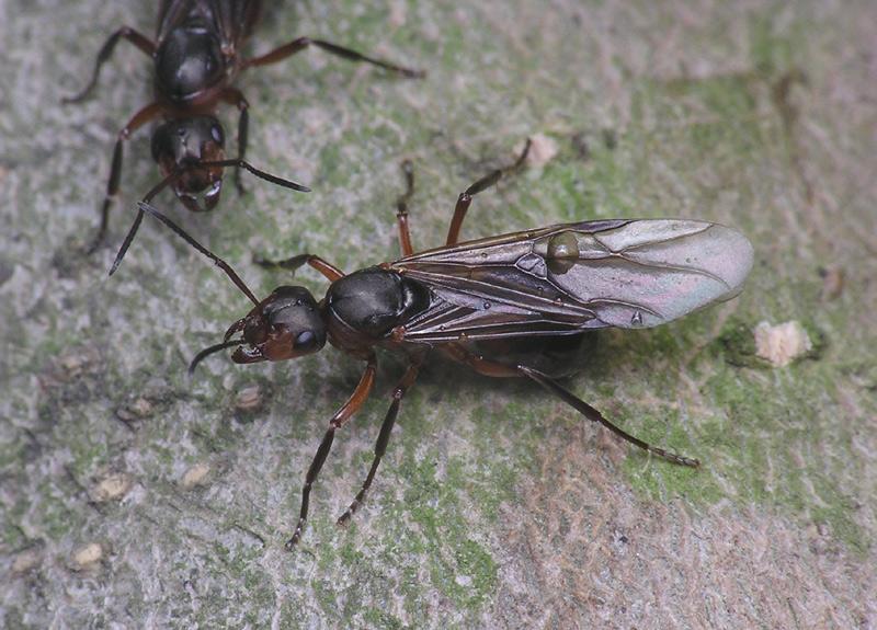 Самец и самка муравьев в доме