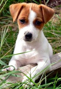 маленький щенок рассел терьера