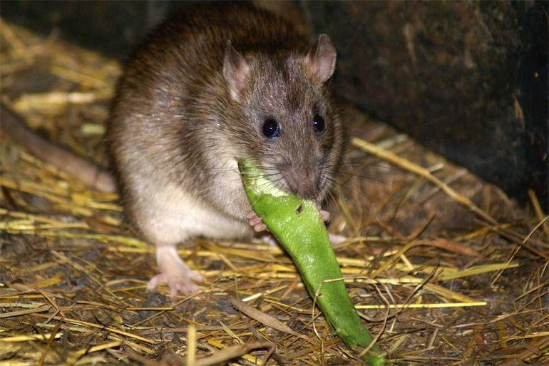 Мыши во сне, значение