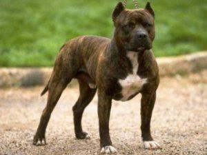 породы бойцовых собак