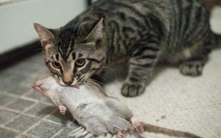 Фото кошки с крысой в зубах