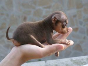 щенок той-терьера мини