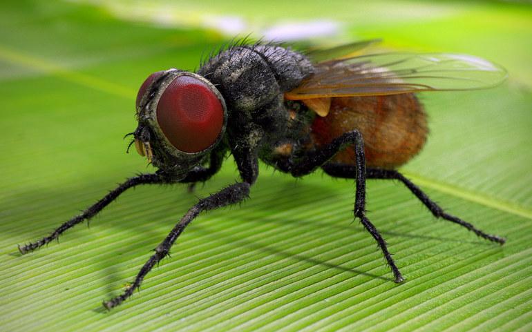 Внешние характеристики мухи