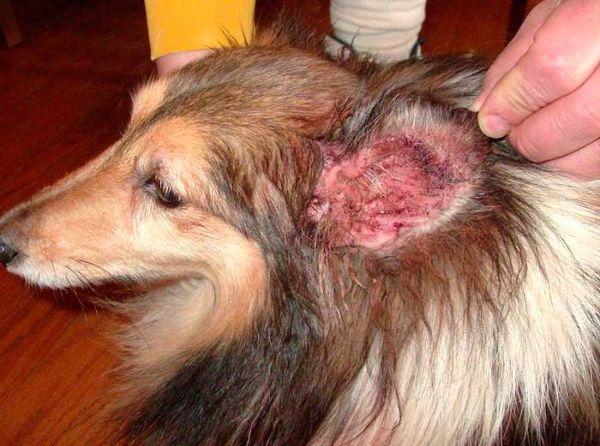 Отодектоз поражает внутреннюю часть ушей собак