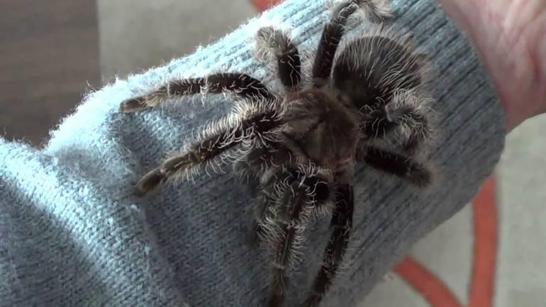 Беловолосый тип пауков