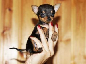 Отличительные признаки собаки Той-терьер мини