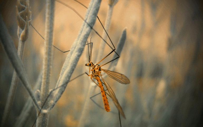 Москиты — это вовсе не комары