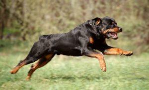 большая бойцовская собака
