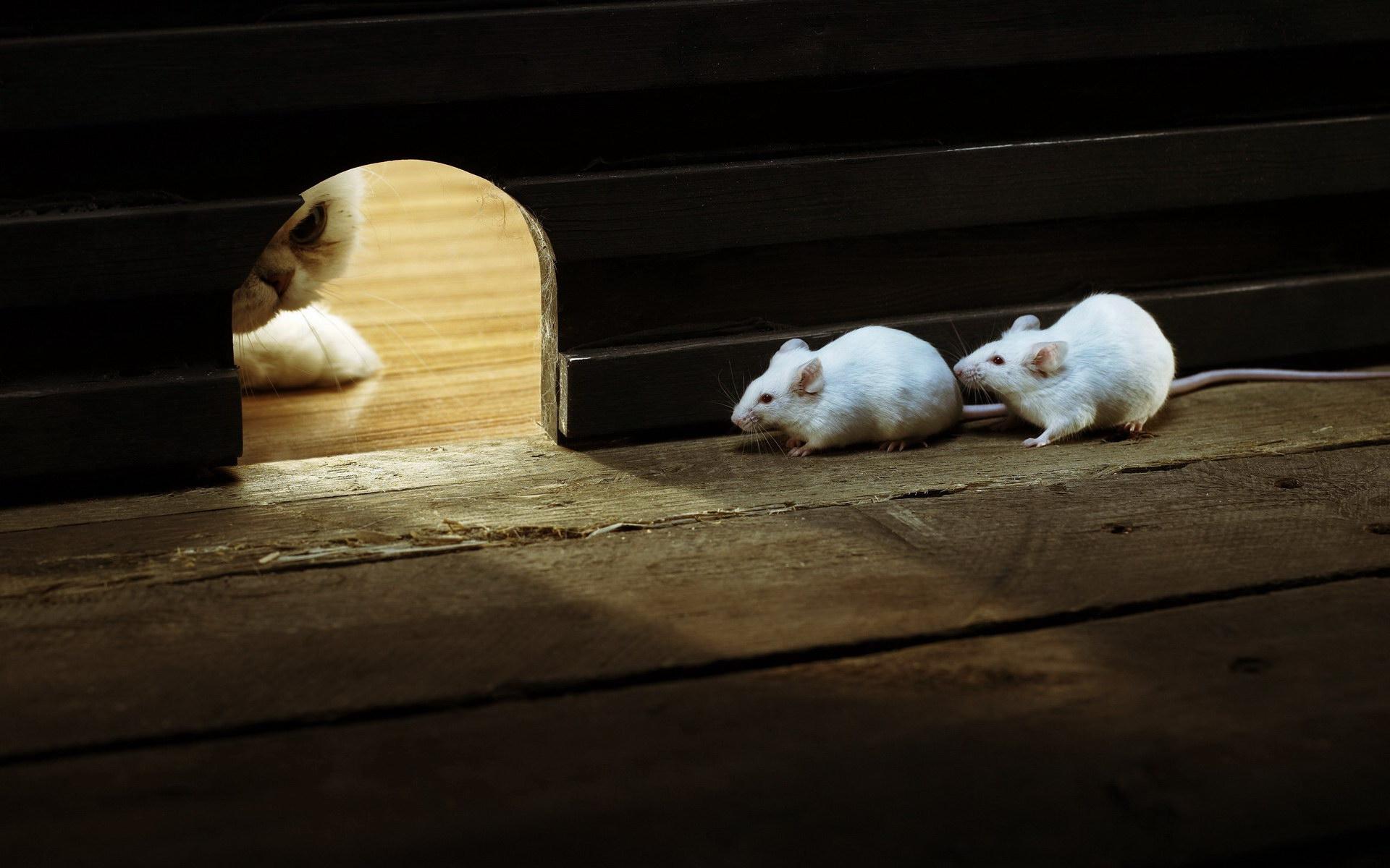 Мыши и кот, охотящийся за ними