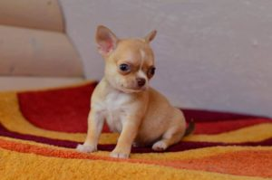 клички для миниатюрных собак