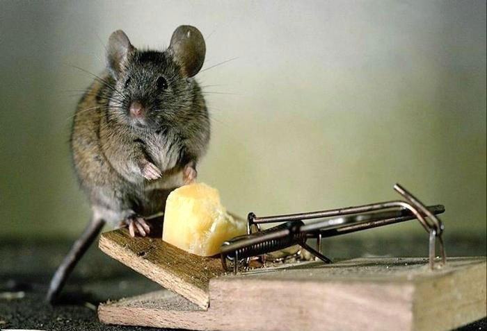Фото мыши на мышеловке