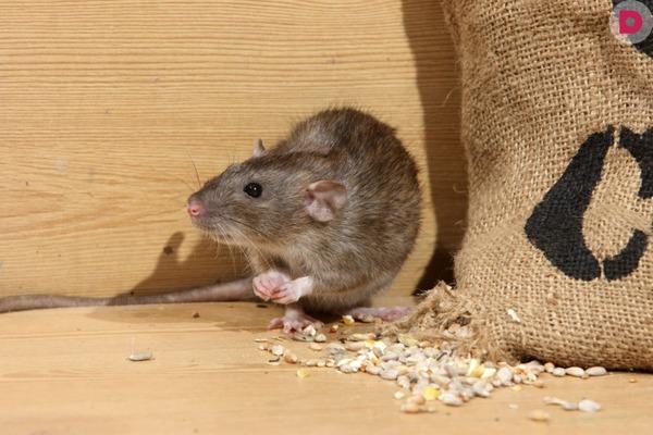Крыса и мешок с зерном