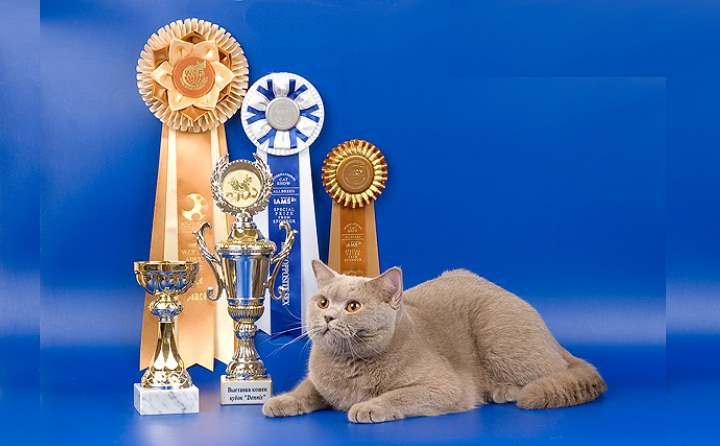 Британский кот на выставке