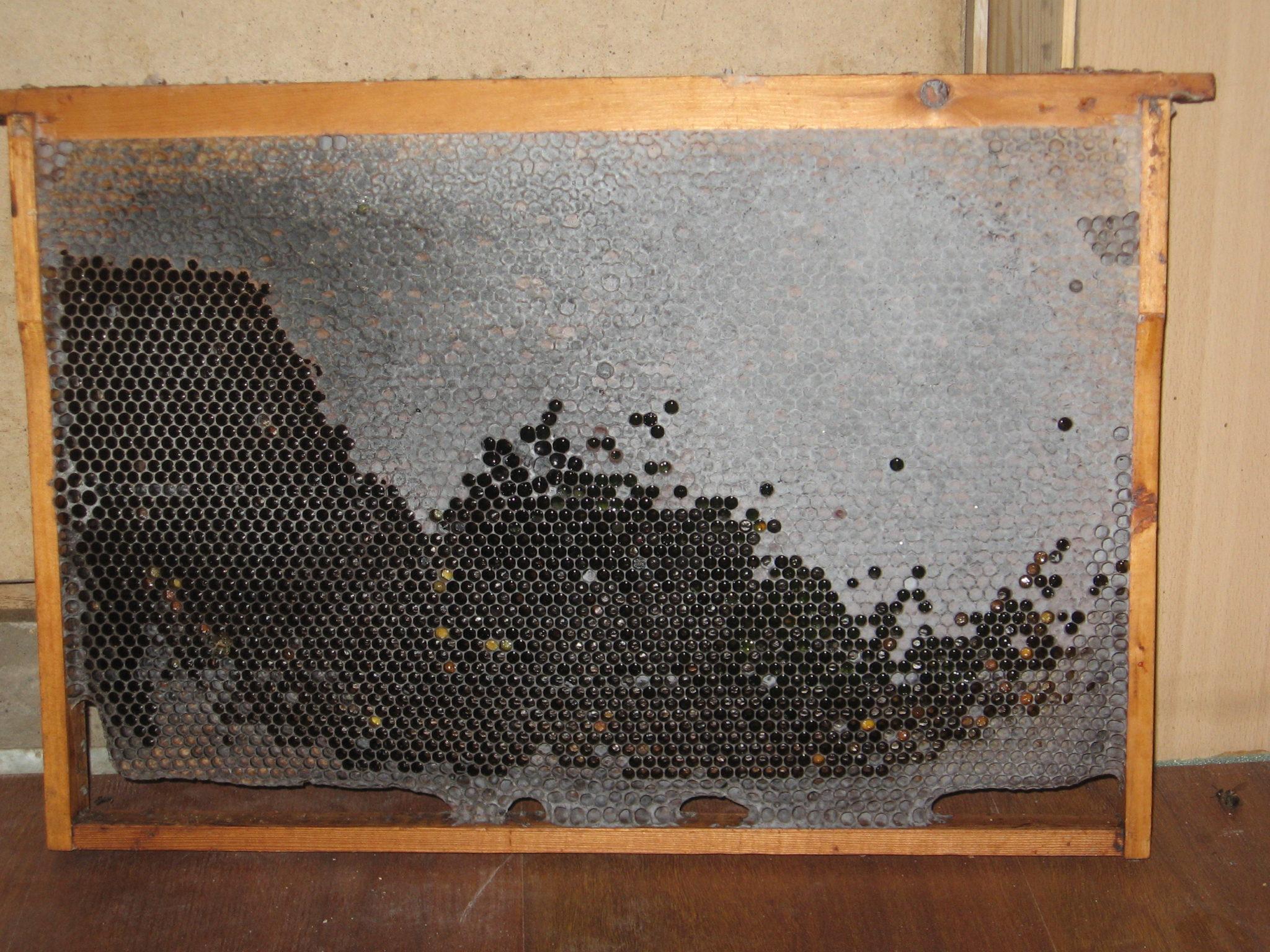 Плесень на пчелиных сотах