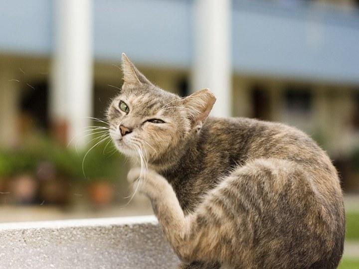 Кот чешется - у него блохи