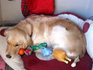 прерывание беременности у собак на ранних сроках