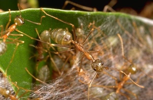 Муравей, плетущий паутину