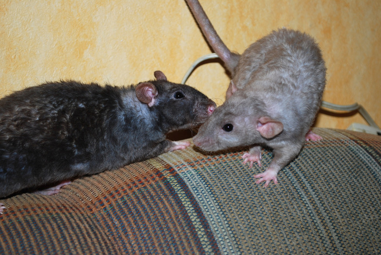 Кудрявые крысы на диване