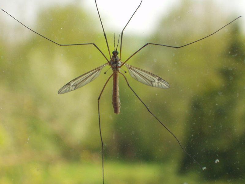 Этот вид комара не опасен для человека