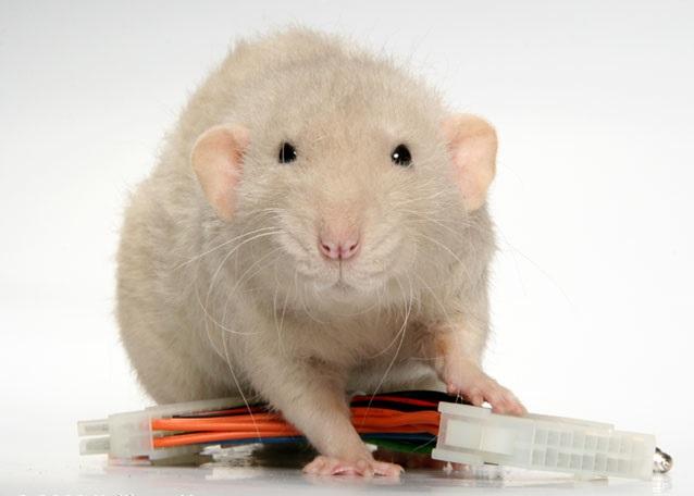 Пуховая крыса и провод
