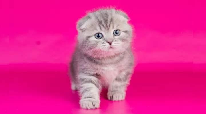 На розовом фоне серый котенок