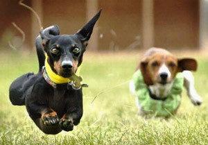 анэструс у собак