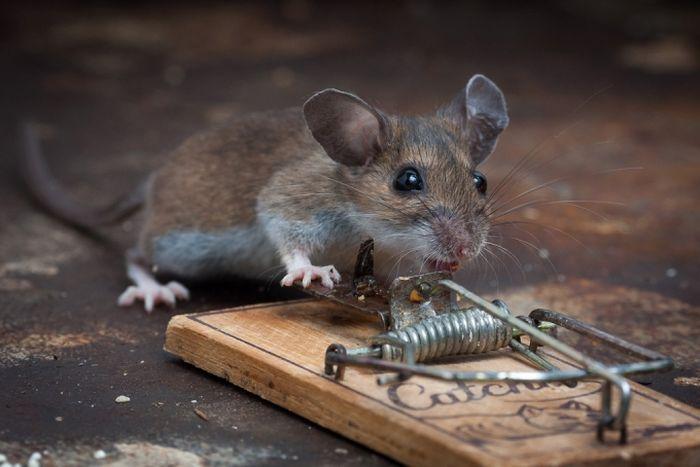 Мышь съела сыр в мышеловке