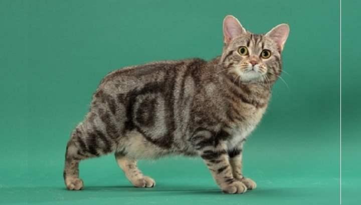 Мэнкская плюшевая кошка