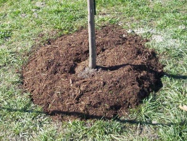 Мульчирование грунта и размещение отравы вокруг ствола яблони
