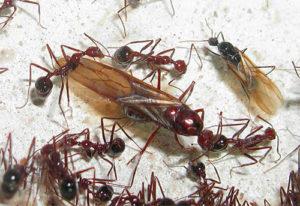 Гнездо крылатых муравьев и самка